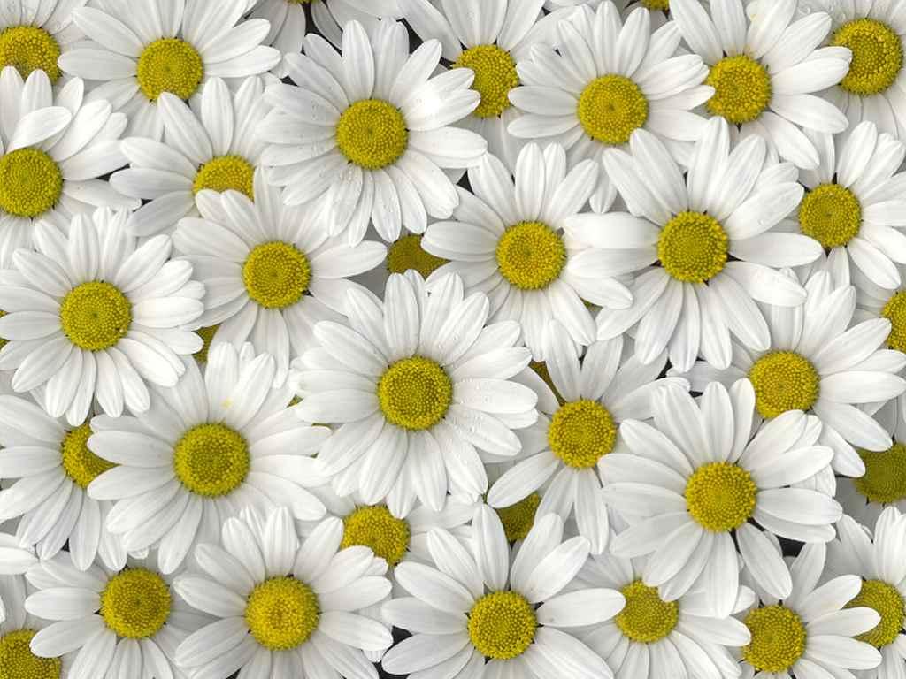 Květiny - pozadí na monitor